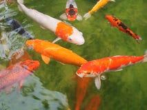De diverse kleuren stellen zich craps voor die in de duidelijke vijver zwemmen royalty-vrije stock foto's