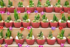 De diverses espèces de cactus sont placées sur les étagères en bois Photos stock