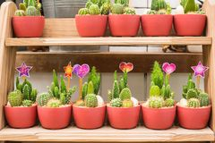 De diverses espèces de cactus sont placées sur les étagères en bois Images libres de droits
