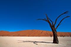 De dode Boom van de Acacia Royalty-vrije Stock Foto's