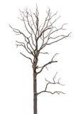 De dode en droge boom is geïsoleerdr op wit Stock Afbeelding