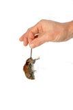 De dode grijze muis door de staart hangt in een man geïsoleerde hand Stock Afbeeldingen