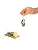 De dode grijze muis door de staart hangt in een man geïsoleerde hand Stock Foto
