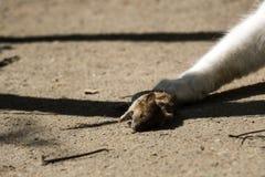 De dode muis ligt op de grond Royalty-vrije Stock Afbeeldingen