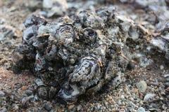 De dode schaaldieren, shells hopen, overzees, golf, dier, pekel, karkas op Stock Afbeeldingen