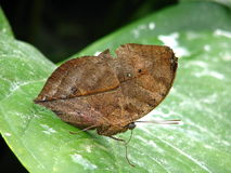 De dode Vlinder van het Blad Royalty-vrije Stock Foto's