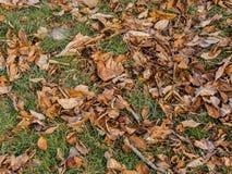 De doden van de nootboom doorbladeren Royalty-vrije Stock Fotografie