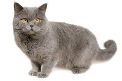 De doen schrikken Britse kat bevindt zich en ziet eruit Stock Foto's