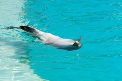 De dolfijn die op het zwemt is achter Royalty-vrije Stock Afbeelding