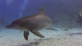 De dolfijn is soms frendly en nieuwsgierig met duikers stock video