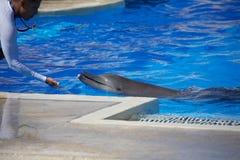 De dolfijn toont in Dolphinaris stock afbeeldingen