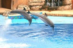 De dolfijn toont Duban Stock Foto's