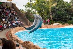 De dolfijn toont in Loro Parque, die nu Tenerife ` s tweede - grootste aantrekkelijkheid met grootste de dolfijnpool van Europa ` Royalty-vrije Stock Afbeelding