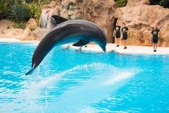 De dolfijn toont in Loro Parque, die nu Tenerife ` s tweede - grootste aantrekkelijkheid met grootste de dolfijnpool van Europa ` Stock Fotografie