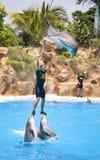 De dolfijn toont in Loro Parque, Tenerife Stock Fotografie