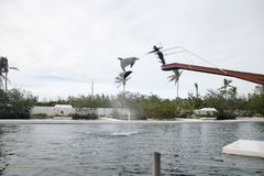 De dolfijn toont in Theater van het overzees in Islamorada Stock Foto's