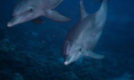 De dolfijn van Bottlenose Royalty-vrije Stock Foto's