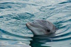 De Dolfijn van Bottlenose Royalty-vrije Stock Afbeeldingen