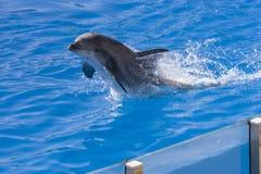 De dolfijn van Bottlenose (truncatus Tursiops) Royalty-vrije Stock Afbeelding