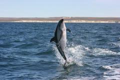 De Dolfijn van ComersonRoyalty-vrije Stock Fotografie