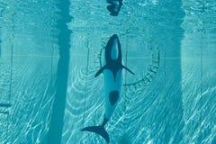 De dolfijn van Commerson (commersonii Cephalorhynchus) Stock Foto's