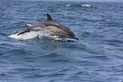 De Dolfijn van Comon Stock Foto's
