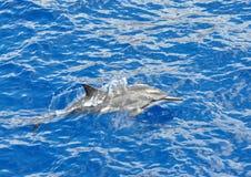 De dolfijn van de spinner Stock Fotografie