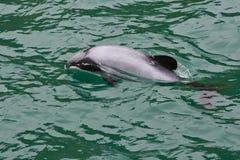 De Dolfijn van Hector royalty-vrije stock afbeeldingen