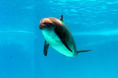 De dolfijn zwemt in het water stock afbeelding
