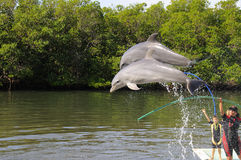 De dolfijnen die in het Varadero Aquarium springen tonen Royalty-vrije Stock Afbeelding