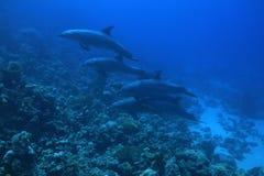 De dolfijnen van Bottlenose Royalty-vrije Stock Fotografie