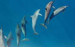 De Dolfijnen van Molokini Royalty-vrije Stock Foto's