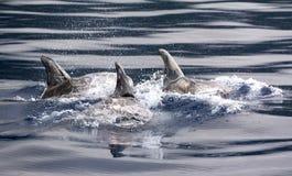 De dolfijnen van Risso Stock Foto's