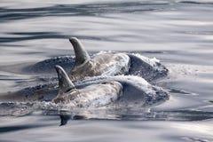 De dolfijnen van Risso in de Azoren Royalty-vrije Stock Foto