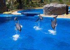 De dolfijnen zwemmen in de pool stock afbeeldingen