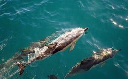 3 de dolfijnen zwemmen langs Stock Fotografie