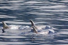 De dolfijnenvinnen van Risso Stock Afbeeldingen
