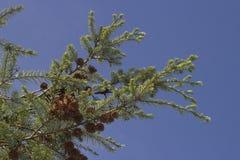De dollekervel van Forrest - Tsuga-forrestii - takken tegen blauwe hemel Stock Afbeelding