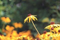 De dominante bloem Royalty-vrije Stock Foto's