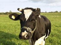 De donde la leche viene Foto de archivo
