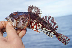 De donderpadvissen van het korthoornrund Royalty-vrije Stock Afbeeldingen