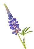 De donkerblauwe bloem van lcolorupine op wit Royalty-vrije Stock Afbeeldingen