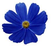 De donkerblauwe geïsoleerde achtergrond van bloemkosmeja wit met het knippen van weg Geen schaduwen close-up Stock Afbeelding