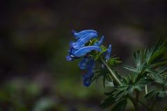 De donkerblauwe knappe lente flowernull Stock Foto