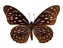 De donkerblauwe vlinder van de Tijger Royalty-vrije Stock Foto's