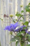 De donkere bloem van repurpleclematissen dichtbij houten omheining stock fotografie