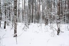 De donkere bomen in het de winterbos Stock Afbeelding