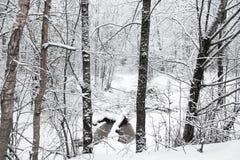 De donkere boomstammen in de winterbos Royalty-vrije Stock Afbeelding
