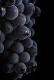 De donkere bos van druif in laag licht op zwarte achtergrond, macroschot, water daalt Stock Fotografie