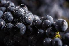 De donkere bos van druif in laag licht op zwarte achtergrond, macroschot, water daalt Stock Afbeelding